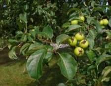 Яблуня лісова і її лікарські властивості