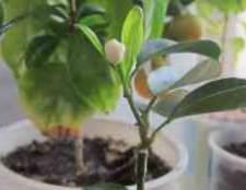 Як доглядати за цитрусовим деревом в домашніх умовах