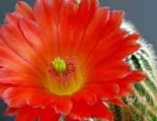 Як доглядати за кактусом гимнокалициума японський