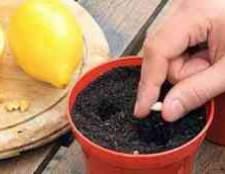 Як вирощувати цитрусові домашнє
