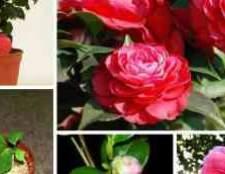 Камелія квітка догляд в домашніх умовах відео