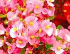 Камелія квіти в санкт-петербурзі