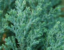 Кипарисовик елвуд невибагливий
