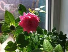 Кімнатна троянда - красуня з шипами