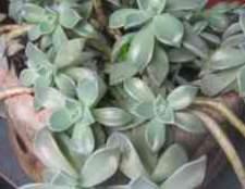 Кімнатна рослина очиток пурпурний