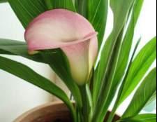 Кімнатні рослини сімейства ароїдні