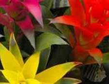 Кімнатний квітка ехмея фоторедактор