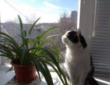 Кот-квітникар: як відучити кота барсика є кімнатні квіти