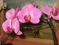 Обприскування орхідеї фаленопсис