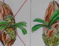 Орхідея фаленопсис хвороби листя