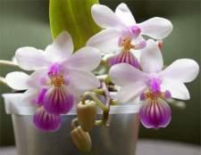 Орхідея кімнатна - бажаний подарунок