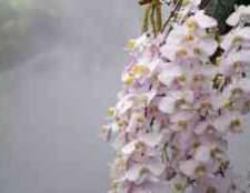 Орхідея опис