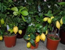 Плодоносні кімнатні рослини