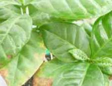 Чому сохне кавове дерево хвороби