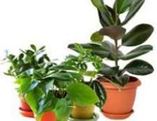 Підживлення домашніх рослин