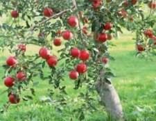 Посадка плодових дерев на ділянці