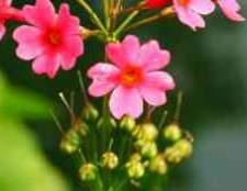 Примула фото квітів розсада