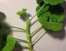 Розмноження пеларгонії листом