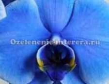 Родина орхідеї фаленопсис вікіпедія