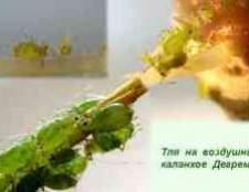 Попелиця на каланхое фото квітів
