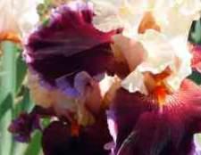 Трава юка цвіте