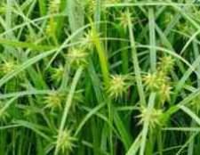 Трава осока декоративна
