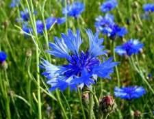 Волошка синя і лікарські властивості цієї рослини