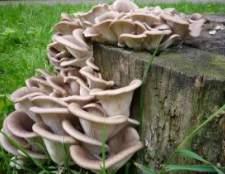 Глива звичайна (устричний гриб)