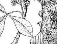 Вид цитрусових рослин сімейства рутові