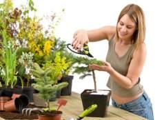 Вирощування і догляд за хвойними рослинами будинку