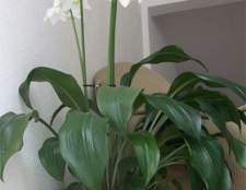 Вирощування еухаріса в домашніх умовах