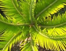 Жовтіють листя у гербери